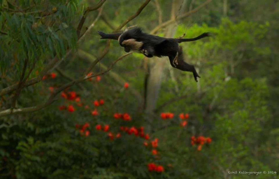 Lion Tailed Macaque |  Credits- Rohit Kalingarayar