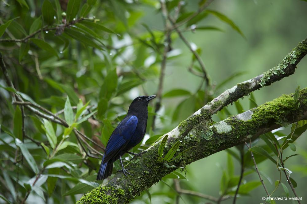 Malabar Whistling Thrush | Credits - Harishvara Venkat