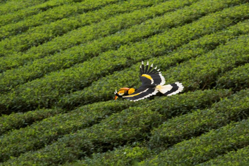 hornbill tea glide