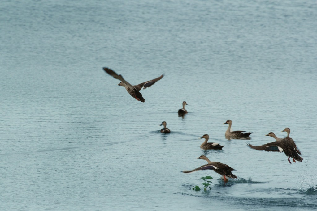 pollachi lake, birding, bird watching, travel, pollachii, wetland birds, vettaikaranpudur, thadam experiences