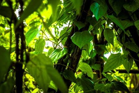Green Grower grow-bags contain coir-dust/coir-pith/coir-peat as the main growing medium. Green Grower grow-bags can be supplied as plain coco-peat grow bags or can be supplied as a blend of coco-peat and coconut husk chips.