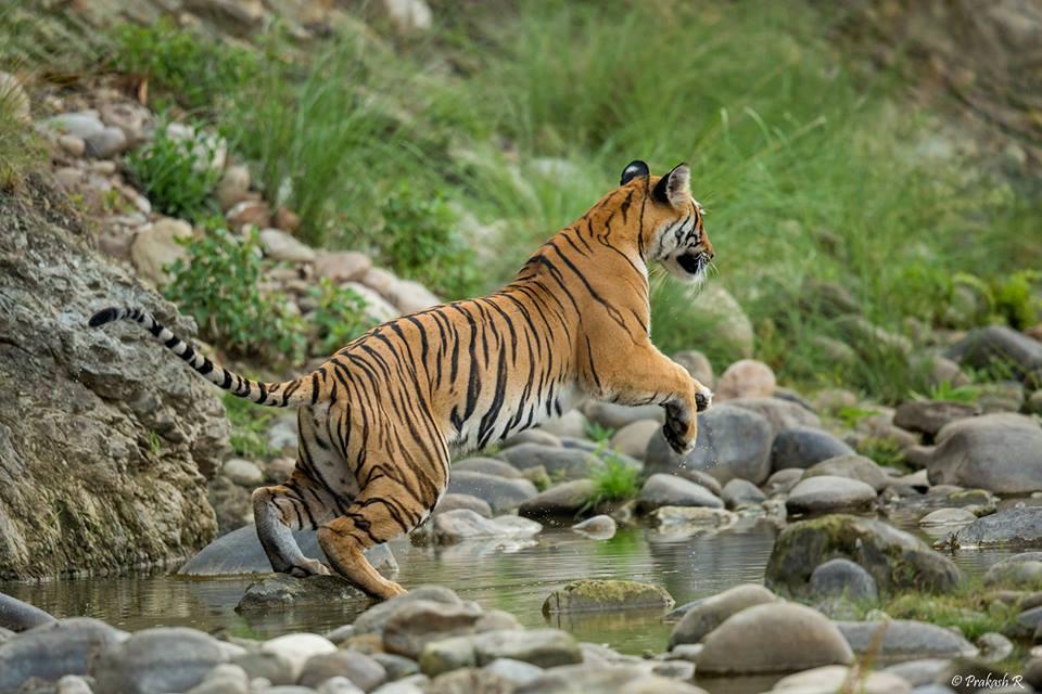 Parwaali Tigress, Corbett | Credits - Prakash Ramakrishnan