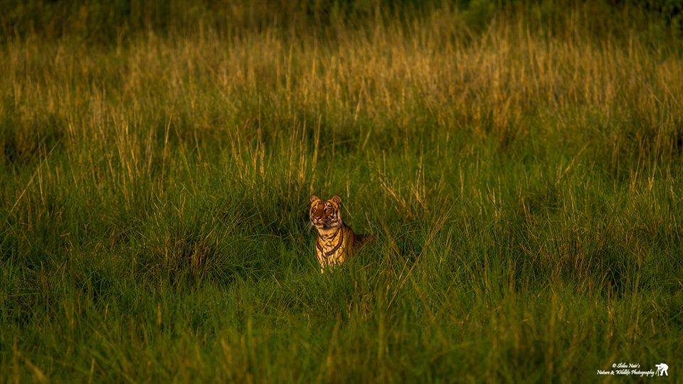 Tigress emerging from the Dhikala grasslands of Corbett | Credits - Shibu Nair
