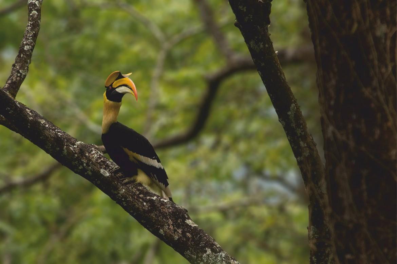 great pied hornbill, great indian hornbill, hornbill watch, birds of anamalais, preening, hornbill nests, tropical rainforests, valparai, topslip, pollachi, NCF, figs, forest fragmentation, loss of habitat,