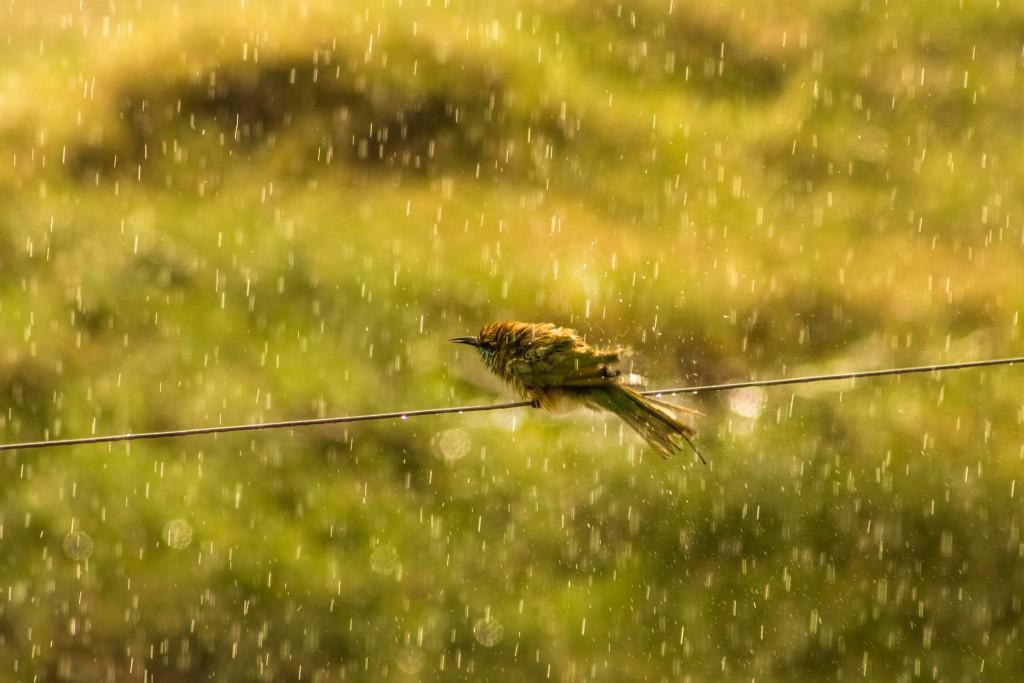 pollachi papyrus, pollachi, monsoon in pollachi, sethumadai, valparai, ploughing, pollachi tourism, places of attraction, breeding, preening,