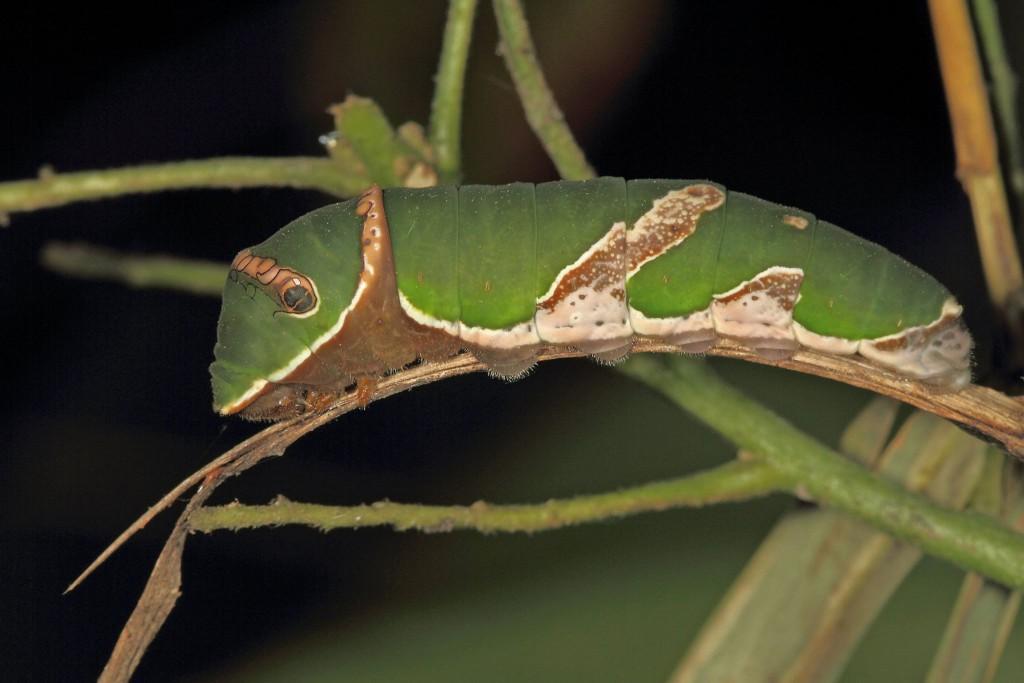 Caterpillar | Credits - Karthikeyan Srinivasan