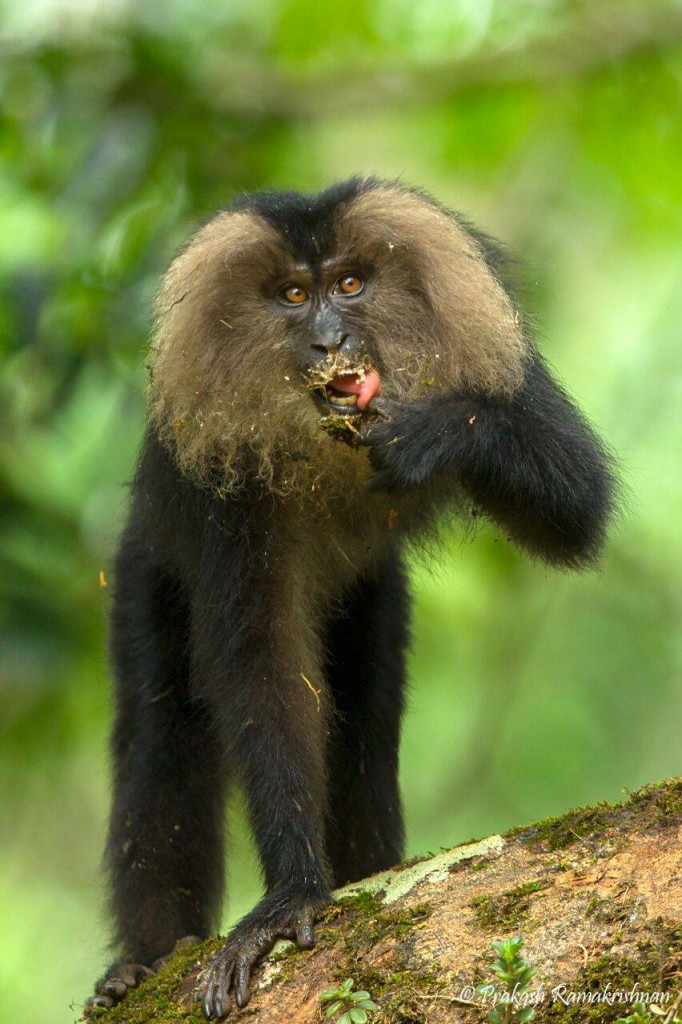 people of pollachi, dharmaraj, lion tailed macaques, nature conservation foundation, conservation, watchers, wildlife guardians, valparai, anamalai tiger reserve, go slow, pollachi, pollachi papyrus, responsible tourism