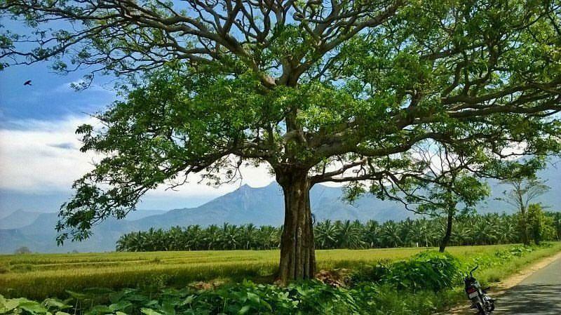 pollachi road, tree tunnel, tree canopy, beautiful roads, save our trees, pollachi papyrus, urban canopy, tree cutting, road widening, valparai, sethumadai, aliyar road, anamalai, ambarampalayam