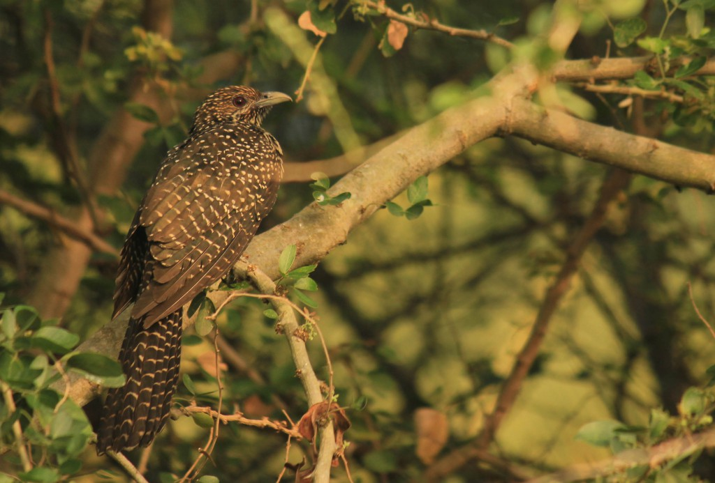 pollachi papyrus, pollachi roads, pollachi trees, trees of pollachi, urban canopy, karthikeyan srinivasan, save our trees, road widening, road expansion, importance of roadside trees,  asian koel female