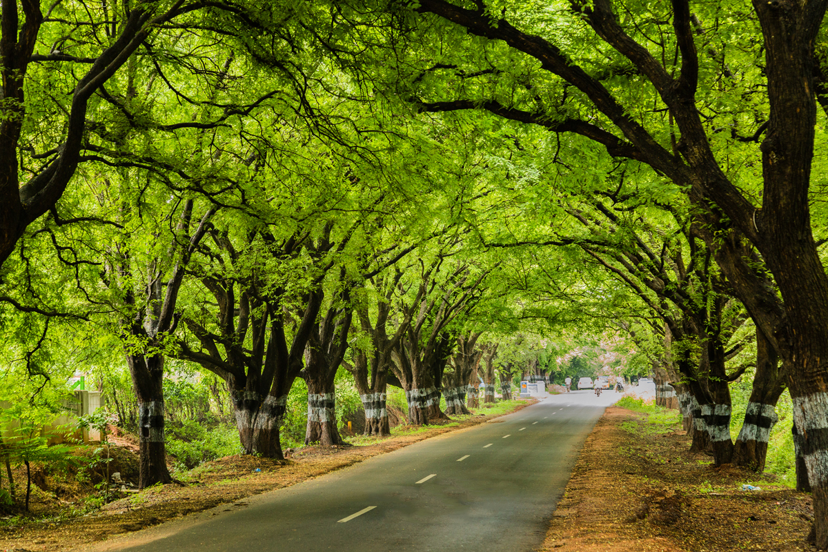 pollachi papyrus, pollachi roads, pollachi trees, trees of pollachi, urban canopy, karthikeyan srinivasan, save our trees, road widening, road expansion, importance of roadside trees,