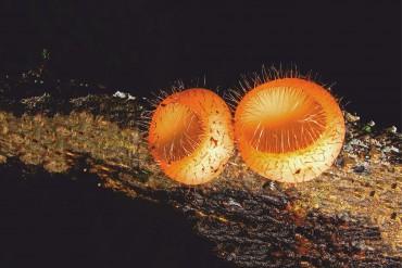 Clavarioid , Pleurocybella, Cyathus, Microporus, Hygrocybe, fungi, ccokeina, priya venkatesh, pollachi, pollachi papyrus, responsible tourism, karthikeyan srinivasan,