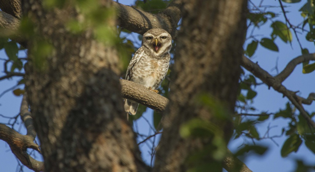 pollachi papyrus, pollachi roads, pollachi trees, trees of pollachi, urban canopy, karthikeyan srinivasan, save our trees, road widening, road expansion, importance of roadside trees,  spotted owlet