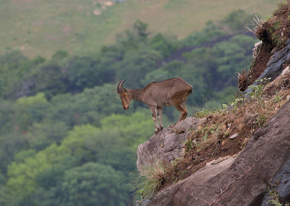 nilgiri tahr, endemic goat, state animal of tamilnadu, icons of anamalais, saddle back, valparai, mammals of atr, anamalais, sethumadai, topslip, pollachi, pollachi papyrus, responsible tourism, mountain goats, tahr kid, aliyar,