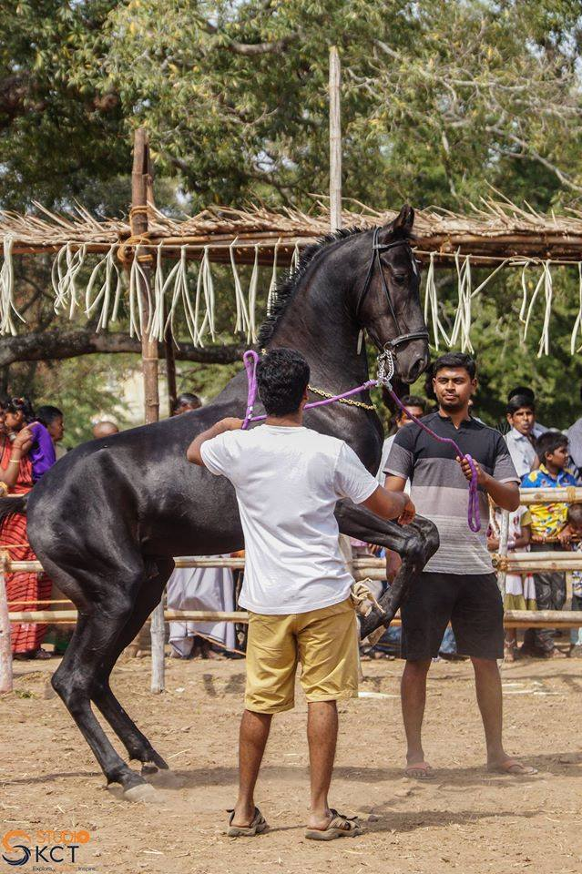 cattle festival, kongunaadu cattle festival, pollachi cattle festival, samathur, kongunaatu kaalnadai thiruvizha, vanavarayar foundation, native cattle, kangeyam bulls, stallion, horses, vanavarayar, cockrels,