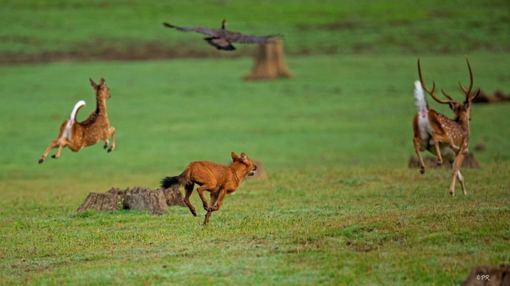 wild dog, wild dogs, dholes, anamalai tiger reserve, valparai, topslip, cuon alpinus, sethumadai, pollachi, pollachi papyrus, wildlife of anamalais, predators, pack hunters, bio diversity, conservation,