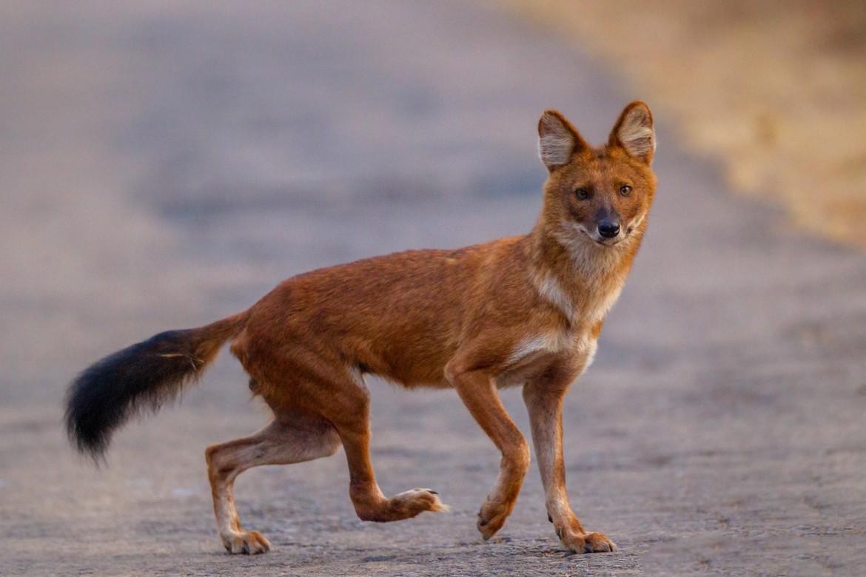 Dog Most Like A Fox