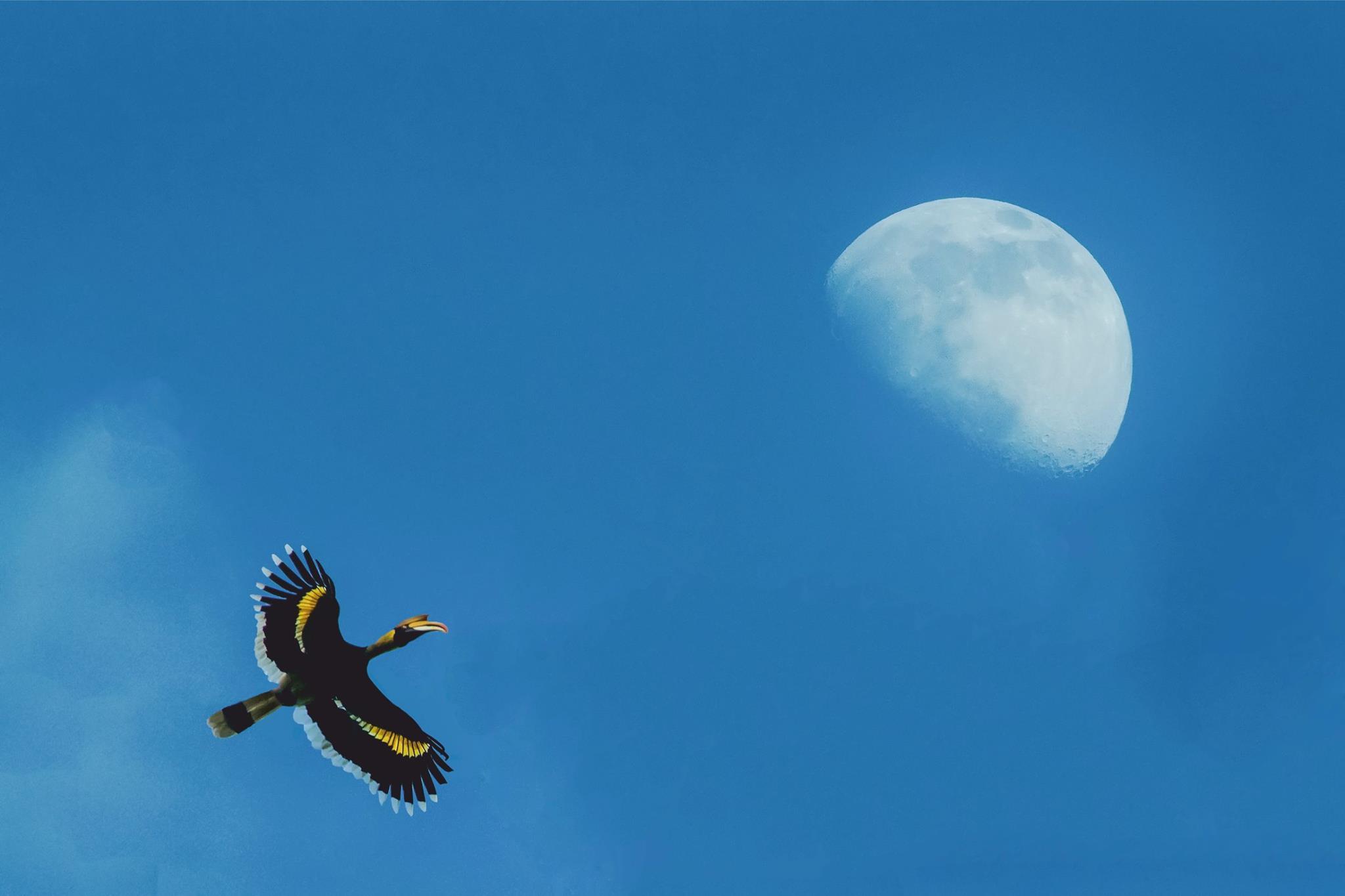 Great Pied Hornbills, Valparai, Hornbills, great indian hornbills, bird watching at Valparai, thadam experiences, pollachi papyrus,