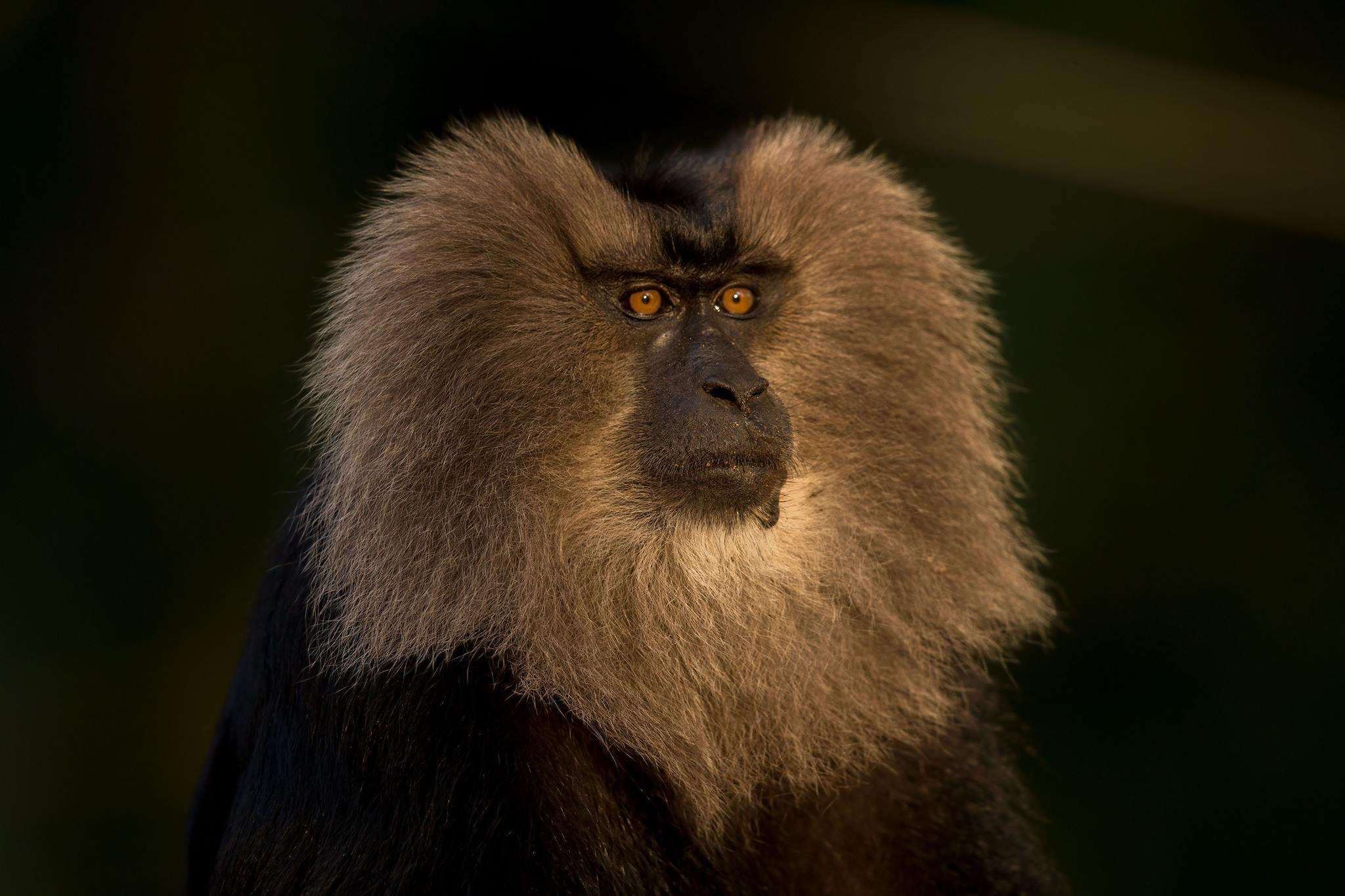Lion Tailed Macaque, LTM, Pollachi Papyrus, Icons of Anamalais, Anamalai Tiger Reserve, primate, puthuthottam, valparai,