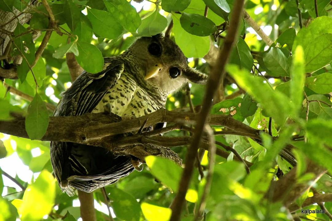 Spotbellied Eagle Owl, pollachi, pollachi papyrus, anamalais, anamalai tiger reserve, chinnar, valparai, topslip, sethumadai, birding, bird watching, photogrpahy, wildlife photography
