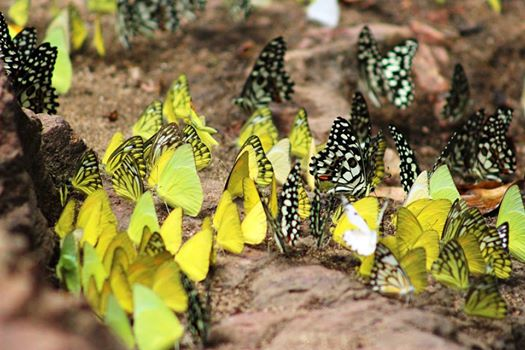 Spotbellied Eagle Owl, pollachi, pollachi papyrus, anamalais, anamalai tiger reserve, chinnar, valparai, topslip, sethumadai, birding, bird watching, photogrpahy, wildlife photography, butterflies, mud puddling