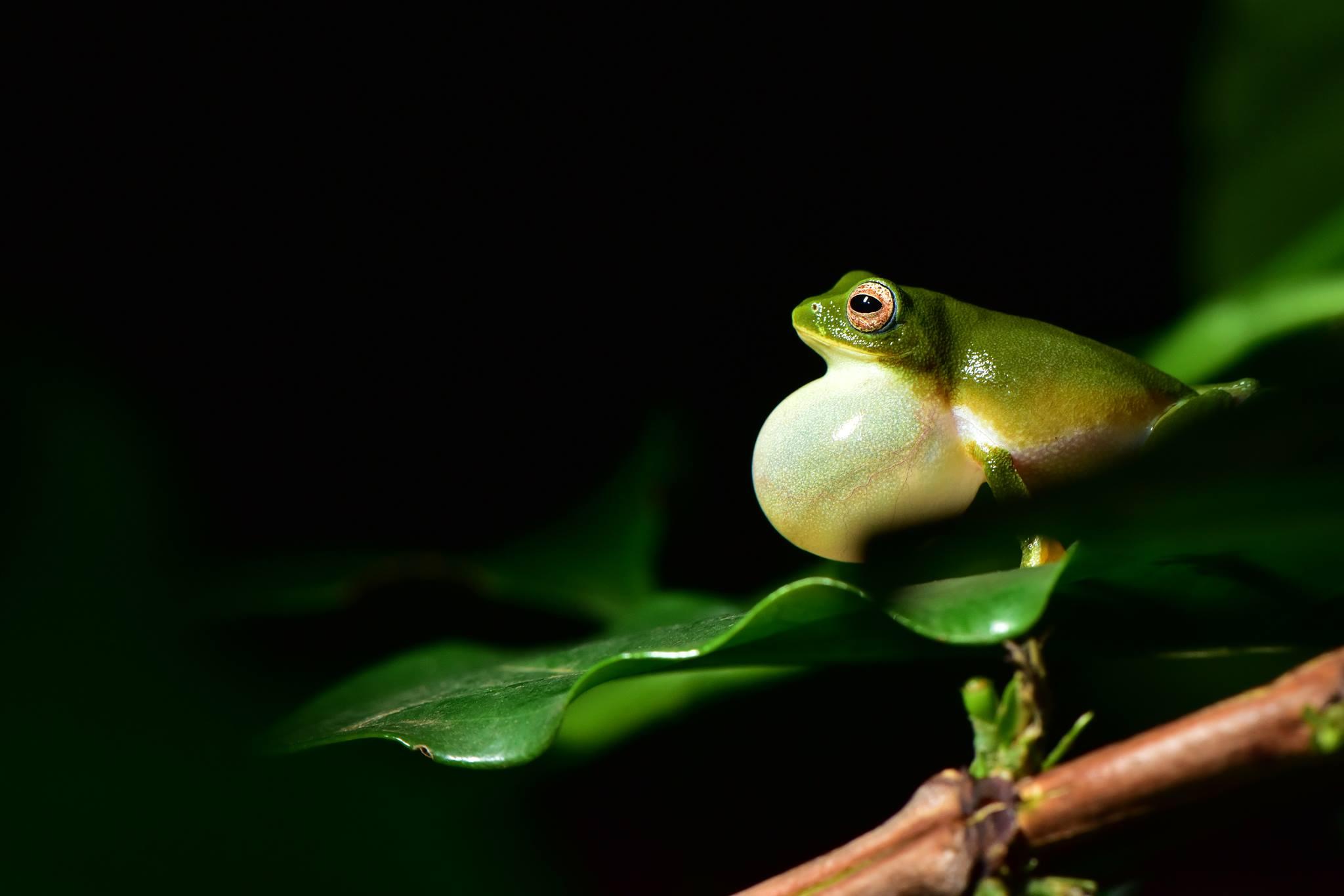 Bush Frog, anamalais, amphibians, pollachi papyrus, anamalai tiger reserve, raorchestes jayarami,