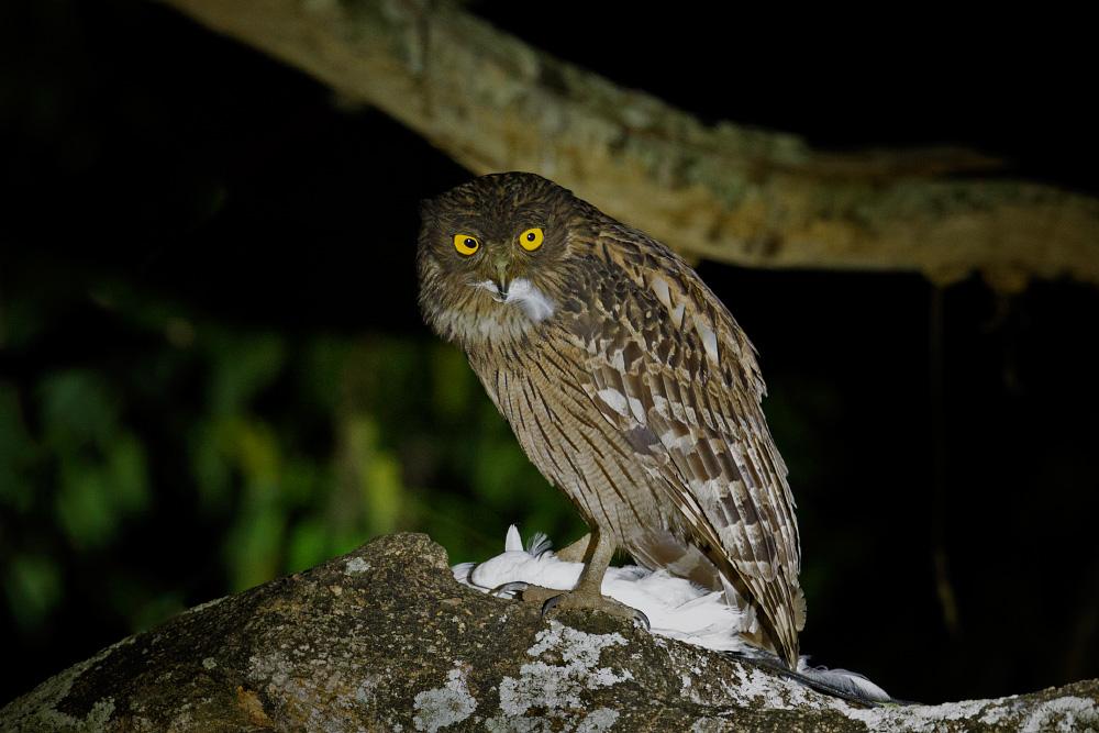 Brown fish owl, egret, Scops Owl, Grey headed Starling, blue bearded bee eater, thalanar, Serenity resort, sethumadai, pollachi papyrus, birding, bird watching, nigh drive, wildlife, safari, owl, nightjar, slender loris, pollachi, valparai,