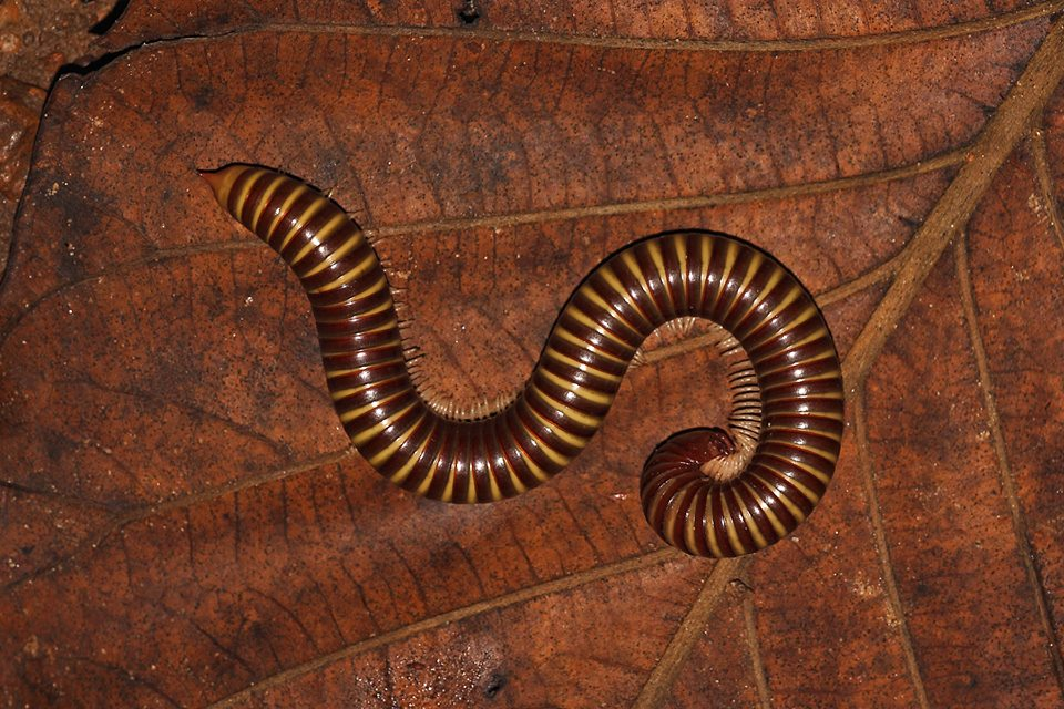 Indrella Ampulla, snail, snails, pollachi papyrus, pollachi, valparai, anamalais, anamalai tiger reserve, monsoon, wildlife, macro, leeches, millipede, ferns, worms, hammerheaded worm, impatients, shield tail snakes,