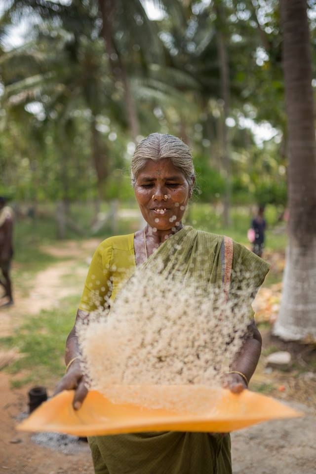 Pollachi Papyrus, Winnowing, People of Pollachi, paddy fields, paddy cultivation, native occupation, farming, agriculture, rice making, harvest season, harvest, rice cultivation, tradition