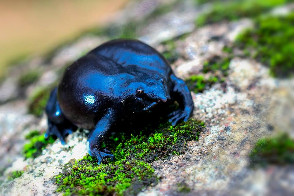 purple frog, icons of anamalais, nasikabatrachus, pollachi papyrus, anamalai tiger reserve, anamalais, valparai, nelliyampathy, frogs, western ghats, amphibians,
