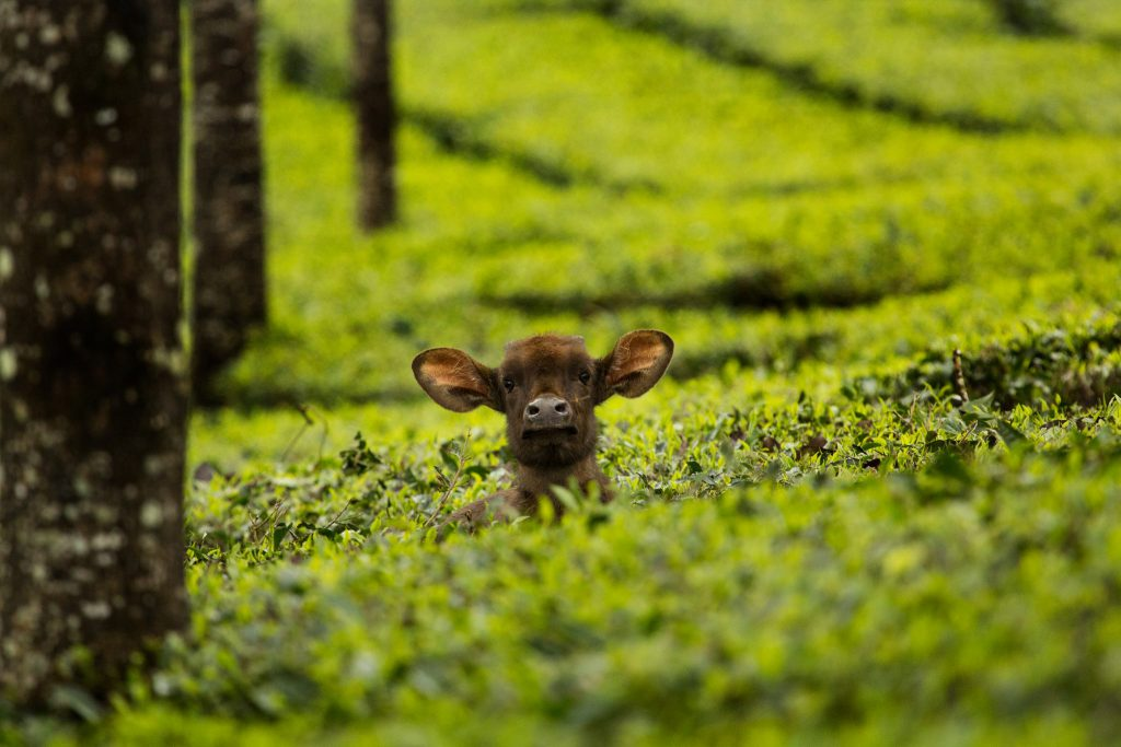 indian gaur, icons of anamalais, anamalais, anamalai tiger reserve, gaur, valparai, topslip, chinnar, sethumadai, pollachi, pollachi papyrus, calf, wildlife, western ghats