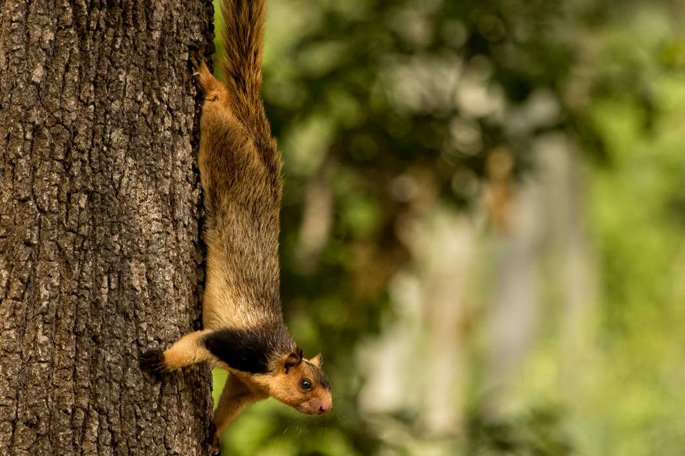 Grizzled Giant Squirrel, Malabar Giant Squirrel, icons of anamalais, pollachi papyrus, squirrel, western ghats, valparai, topslip, manomboly, chinnar, anamalai tiger reserve, sethumadai, wildlife photography, ratufa indica,