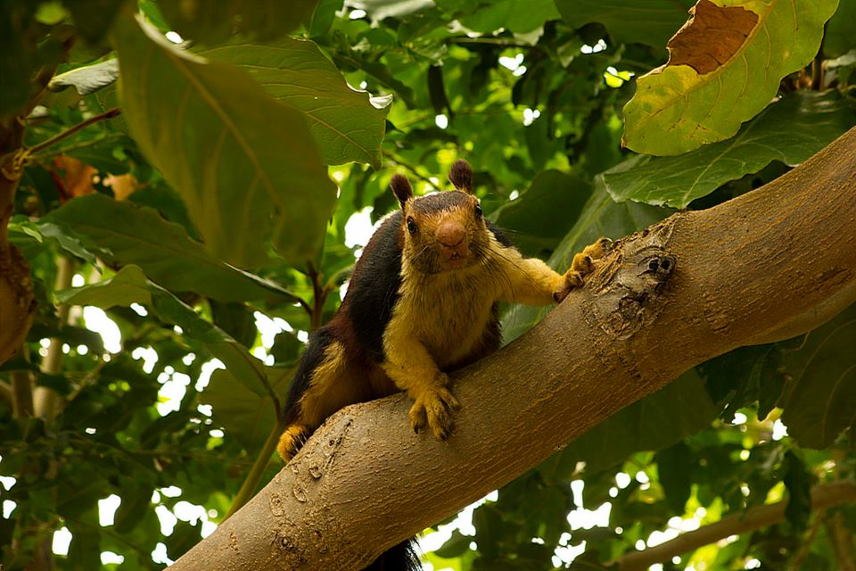 Malabar Giant Squirrel, icons of anamalais, pollachi papyrus, squirrel, western ghats, valparai, topslip, manomboly, chinnar, anamalai tiger reserve, sethumadai, wildlife photography, ratufa indica,