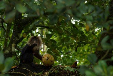 lion tailed macaque, ltm, macaque, jack fruit, jackfruit, malabar giant squirrel, valparai, anamalai tiger reserve, anamalais, pollachi, pollachi papyrus, asian elephant, conservation, wildlife, interaction, flying squirrel, sambar, barking deer, rainforest, tropical forest