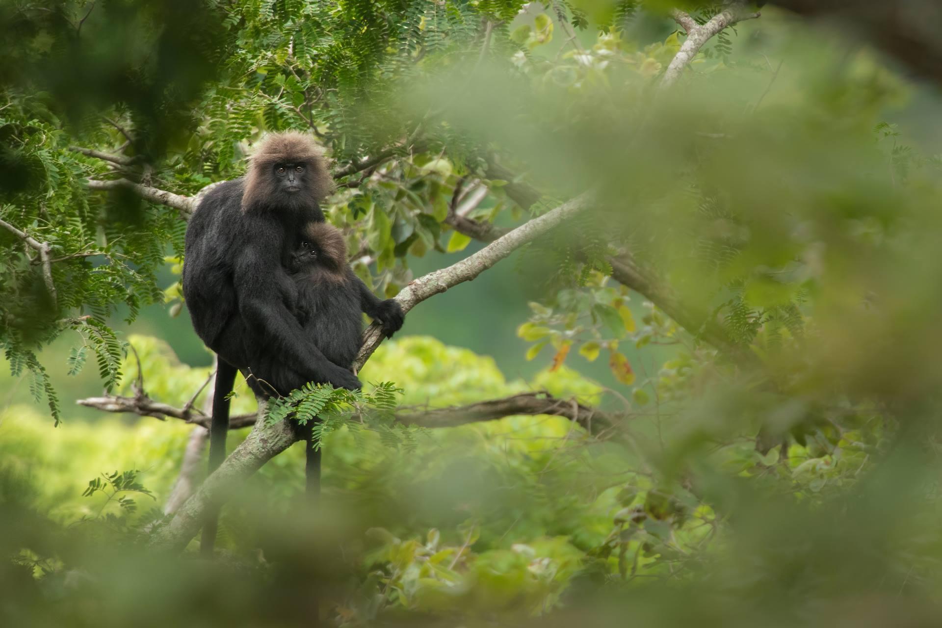 nilgiri langur, icons of anamalais, pollachi, valparai, topslip, chinnar, anamalai tiger reserve, parambikulam, monkey, langur, wildlife, conservation, pollachi papyrus, arvind ramamurthy,