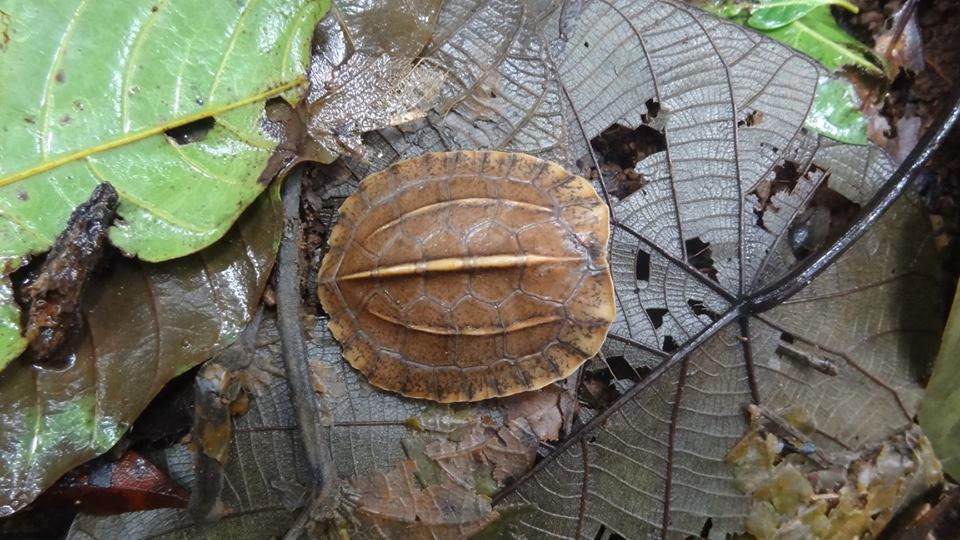 forest cane turtle, cochin cane turtle, cane turtle, topslip, anamalai tiger reserve, pollachi papyrus, icons of anamalais, valparai, ncf, shankar raman, western ghats, conservation, rainforest
