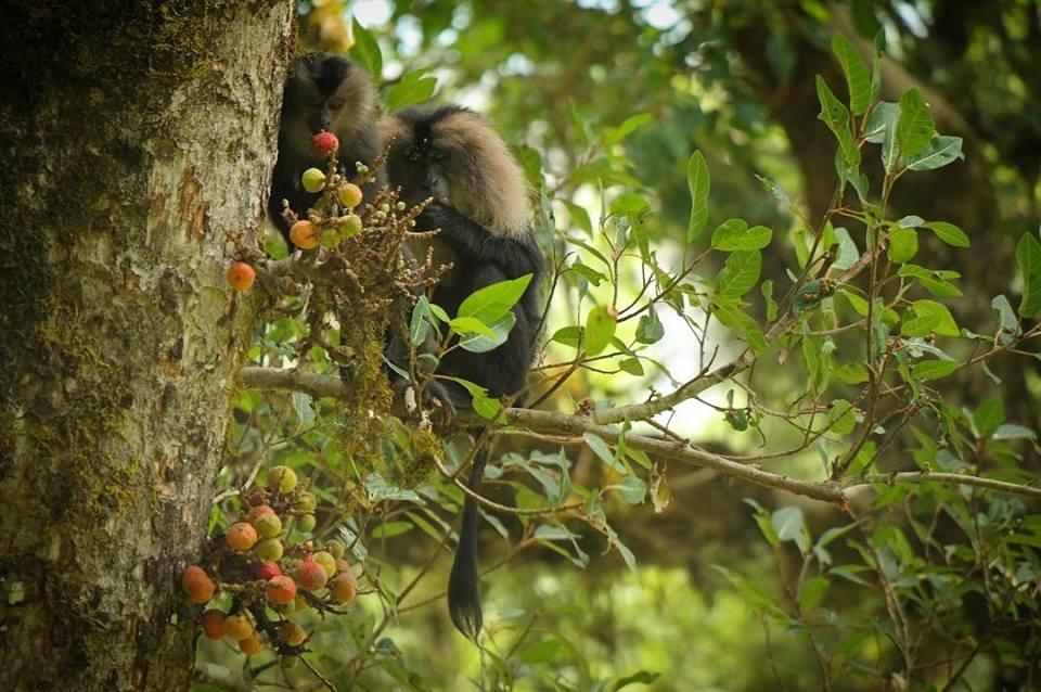ficus racemosa, Ficus anamalaiensis, Ficus Microcarpa, figs, fruits, trees, anamalais, anamalai tiger reserve, pollachi papyrus, pollachi, western ghats, endemic, wildlife, bio diversity, nature, valparai, topslip, pollachi