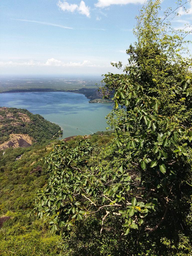 Ficus Microcarpa, figs, fruits, trees, anamalais, anamalai tiger reserve, pollachi papyrus, pollachi, western ghats, endemic, wildlife, bio diversity, nature, valparai, topslip, pollachi