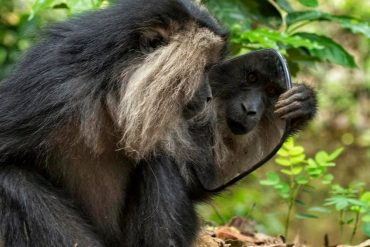 Lion Tailed Macaque, LTM, Pollachi Papyrus, Icons of Anamalais, Anamalai Tiger Reserve, primate, puthuthottam, valparai,